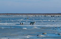 Churchill – Polar Bears Oct 2016