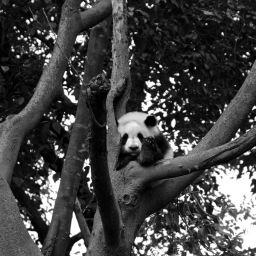 Chengdu Giant Panda May 2017