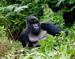 Mountain Gorillas of Rwanda Sep 2017