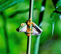 Arenal Oasis Frog Watching Feb 2019