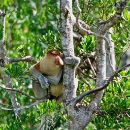 Proboscis Monkeys of Borneo June 2019