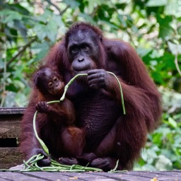 Bornean Orangutans of Sepilok June 2019